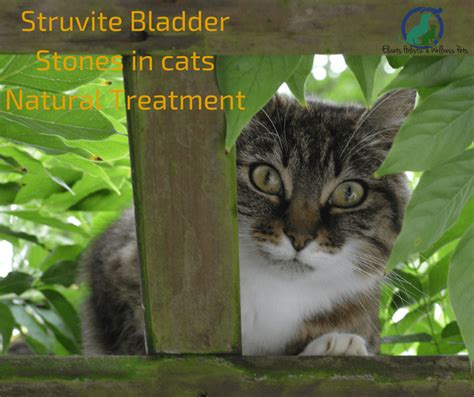 holistic relief of feline bladder stones picture 2
