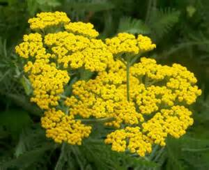 where should yarrow flower be planted picture 5