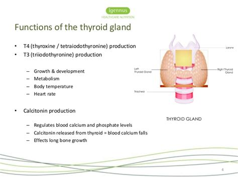 what is the purpose of the thyroid gland picture 6