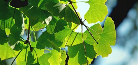 ginkgo tree facts picture 14