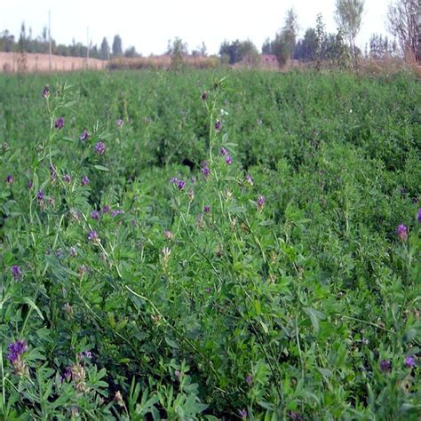 alfalfa seed for sale picture 6
