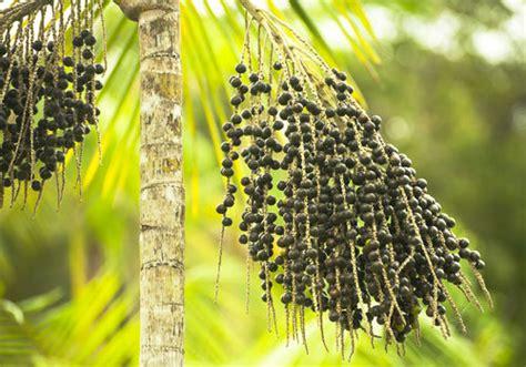 does acai berries raise estrogen picture 17