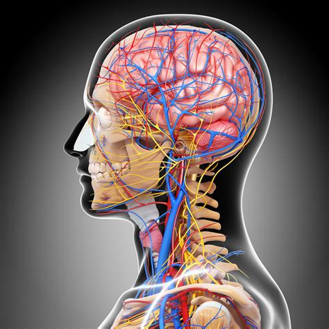 blood flow to male brain picture 6
