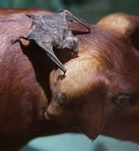 pictures of vampire bats sleeping picture 5