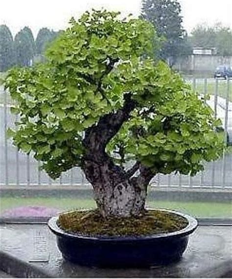 ginkgo tree facts picture 9
