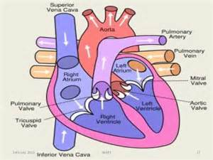 coronary blood flow picture 5