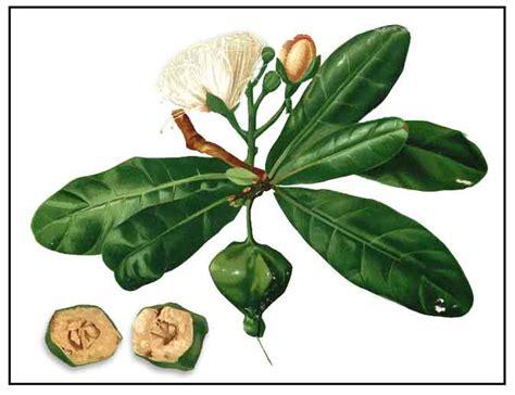 sibucao tree herbal medicine picture 13