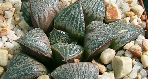 is south african hoodia gordonii picture 10