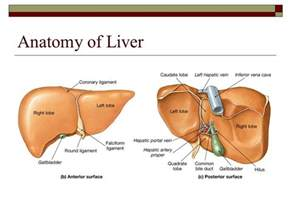 anatomy of liver picture 6
