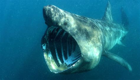 great white shark teeth picture 7