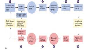 heart blood flow order picture 3