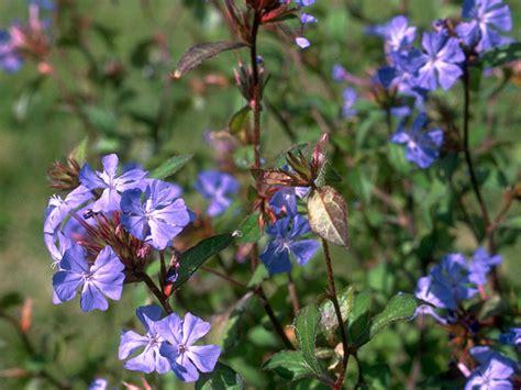 cerato herbal picture 2