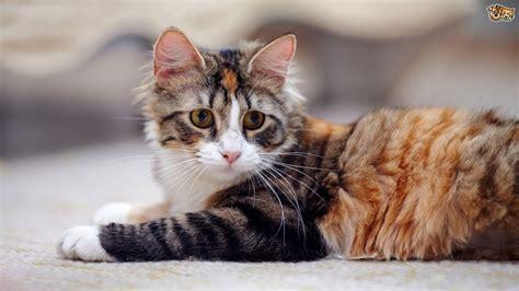 feline herpes picture 13