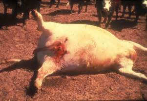 factors affecting show pigs skin picture 9