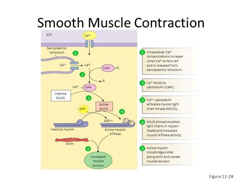 contraction in smooth muscle tissue picture 2