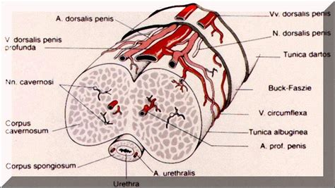 anatomy penis picture 15