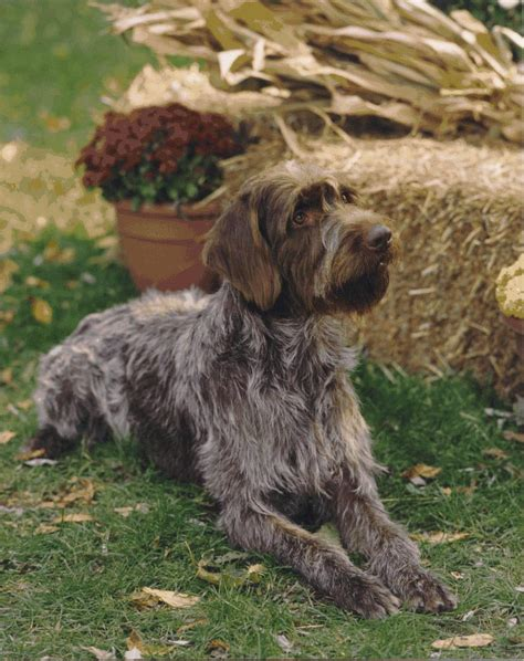 wire hair pointing griffon picture 6