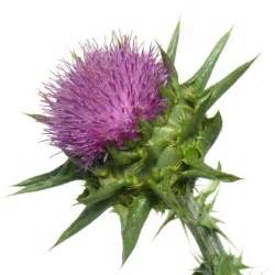 milk thistle benefits acne picture 10