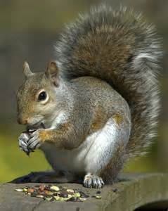 picture of squirrel h picture 17