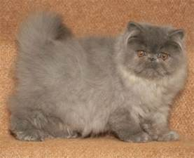 smoke persian breeders picture 6