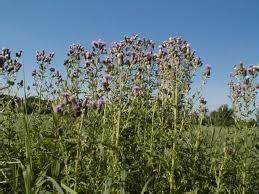 where to get organic thistle control picture 10