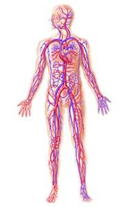 blood vessel circulation picture 10