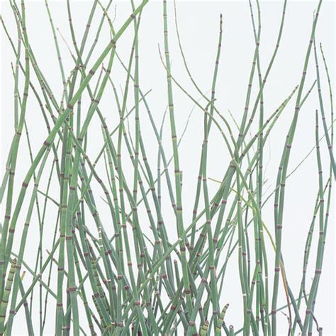 horsetail growing zones picture 2
