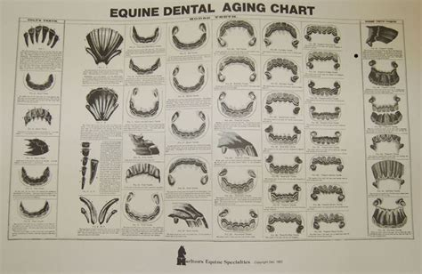 equine aging chart picture 2