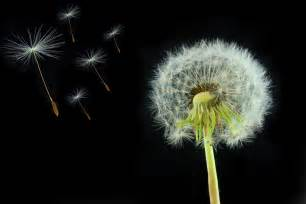 best way to kill dandelion picture 5