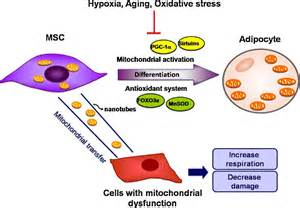 biogenesis of mitochondria in the differentiation and aging picture 2