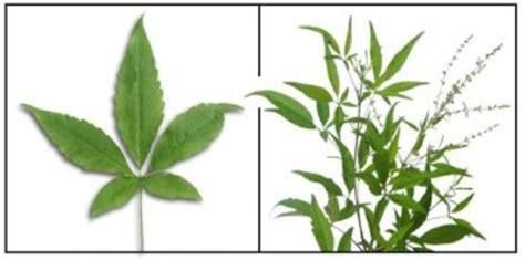 filipino herbal remedies picture 3