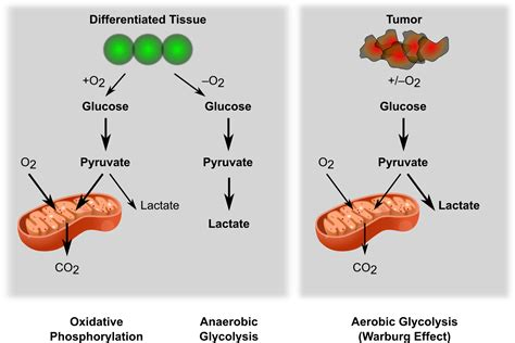 cipram metabolism picture 10