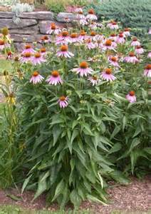 echinacea plants picture 1