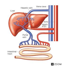 blood flow in the liver picture 14