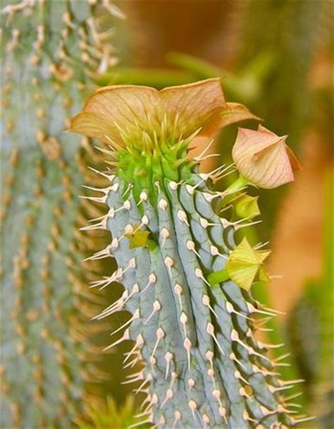 hoodia np w picture 7