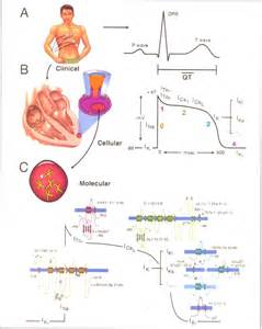 electrocardiograms directly measure action potentials in individual picture 10