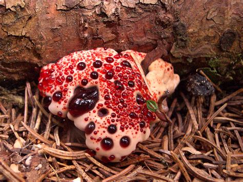 what is stomach vampire fungus? picture 5