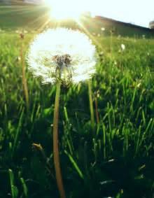 dandelion picture 15