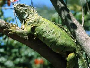 green iguana black in diseases picture 13