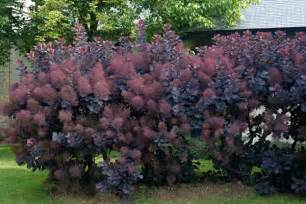 caring for my purple smoketree picture 3