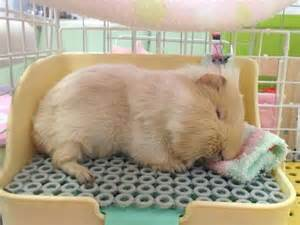 guinea pigs put to sleep picture 3