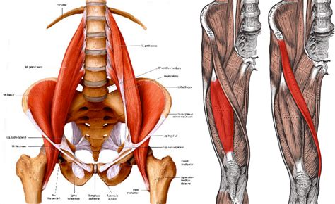 lumbar muscle picture 5
