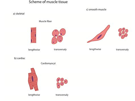 are smooth muscle multinucleated picture 11