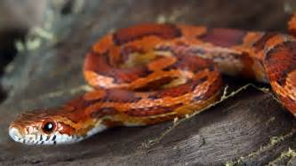corn snakes h picture 7
