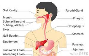 digestion system of hag picture 6
