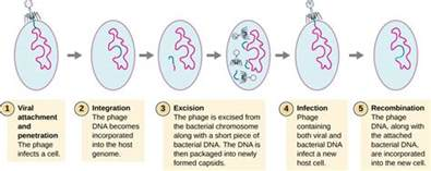 stages of the bacterial infection picture 7