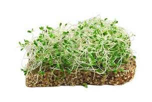 are alfalfa sprouts safe picture 1