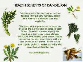 benefits of dandelion seeds picture 5