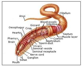 digestion system of hagfish picture 1