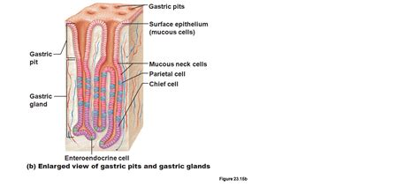 what does intestinal intersial cell produce picture 8
